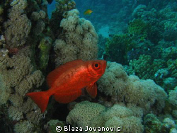 A common Red Sea bigeye on Marsa Shagra House reef, Egypt... by Blaza Jovanovic 